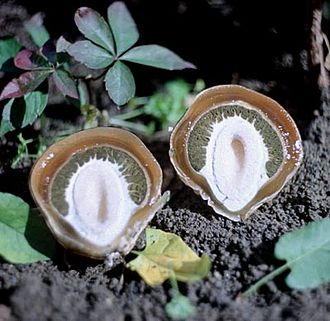 Phallaceae - A bisected stinkhorn egg (Phallus impudicus)