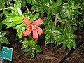 Hibiscus clayi - Koko Crater Botanical Garden - IMG 2262.JPG