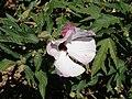 Hibiscus heterophyllus 2.jpg