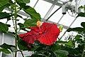 Hibiscus rosa-sinensis Kiss And Tell 1zz.jpg