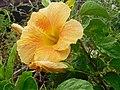 Hibiscus rosa sinensis.jpg