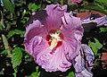 Hibiscus sp. (rose mallow) (Newark, Ohio, USA) 1 (29434682238).jpg