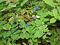 Highbush blueberries.jpg