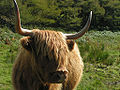 Highland cattle Mull.jpg