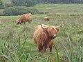Highland cattle by the Skyreburn road - geograph.org.uk - 258864.jpg