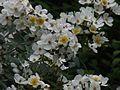 Himalayan Musk Rose (2560531383).jpg