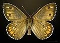 Hipparchia semele MHNT CUT 2013 3 30 Villegailhenc male dorsal.jpg