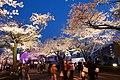 Hitachi Sakura Festival, Ibaraki 19.jpg
