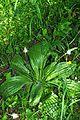 Hoary plantain (Plantago media) (8915070580).jpg