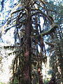 Hoh Rainforest - Olympic National Park - Washington State (9780054182).jpg