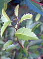 Hoheria-sexstylosa-leaves.jpg