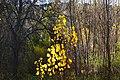 Hojas amarillas - panoramio (1).jpg