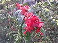 Holmskiodia sanguinea-flower-yercaud-salem-India.JPG