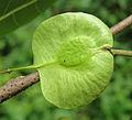 Holoptelea integrifolia 06.jpg