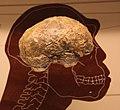 Homo erectus endocast - Smithsonian Museum of Natural History - 2012-05-17.jpg