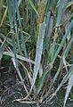 Hordeum vulgare Erysiphe graminis f. hordei (2).jpg