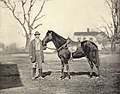Horse belonging to Ulysses S Grant, Jeff Davis, by Mathew Brady.jpg