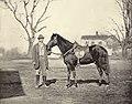 Horse belonging to Ulysses S Grant, Jeff Davis, by Mathew Brady.jpg