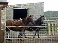 Horses at Lodor Fach - geograph.org.uk - 746637.jpg