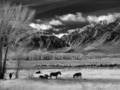 Horses grazing in a meadow between U.S. 395 and Lower Rock Creek Road north of Bishop in Mono County, California LCCN2013633705.tif