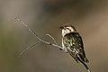 Horsfields Bronze-cuckoo (Chrysococcyx basalis) (44340287661).jpg
