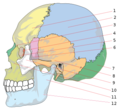 Human skull side bones numbered.png