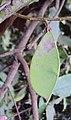 Humboldtia brunonis 02.JPG