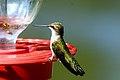 Humming bird at feeder.JPG