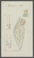 Hydatina senta - - Print - Iconographia Zoologica - Special Collections University of Amsterdam - UBAINV0274 101 04 0010.tif
