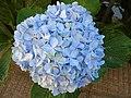Hydrangea macrophylla.002 - Burela.jpg