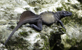 Hydrosaurus celebensis, male, Pattunuang, Sulawesi.png