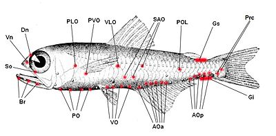 Leydig's organ - WikiVisually