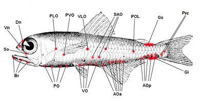Leydig's organ - WikiVisually