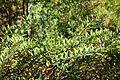 Hypericum forrestii - Quarryhill Botanical Garden - DSC03306.JPG