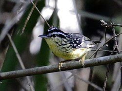 Hypocnemis subflava - Yellow-breasted Warbling-Antbird.jpg