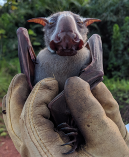 Hammer-headed bat A megabat widely distributed in West and Central Africa