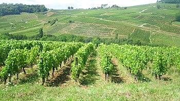 IMG Vignoble de Chateau-Chalon 2.JPG