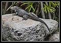 Iguana at Australia Zoo-3 (9256048055).jpg