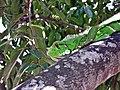 Iguana mia.JPG