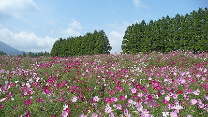 生駒高原のコスモス(宮崎県小林市)