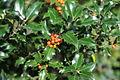 Ilex aquifolium eu.jpg