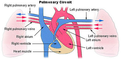 Diagram showing the four chambers of the heart and the pulmonary arteries and veins connecting it to both lungs