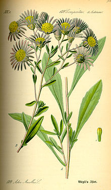 Amellaster Aster amellus