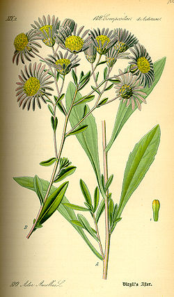 Illustration Aster amellus0.jpg