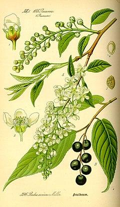 240px-Illustration_Prunus_avium0.jpg