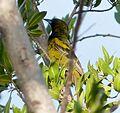 Immature Cuban Oriole - subspecies of Greater Antillean, Icterus dominicensis melanopsis - Flickr - gailhampshire.jpg