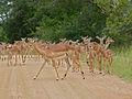 Impalas (Aepyceros melampus) females and youngs (13625367514).jpg
