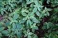 Impatiens parviflora Dc. (7796996874).jpg