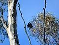 In flight, Dryandra Woodland, Western Australia.jpg