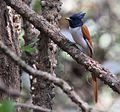 Indian Paradise Flycatcher, Ganeshgudi, Vimal Rajyaguru.jpg